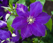 purple clematis image spring 2019
