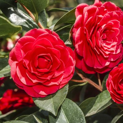 Camellia Collection 3ltr