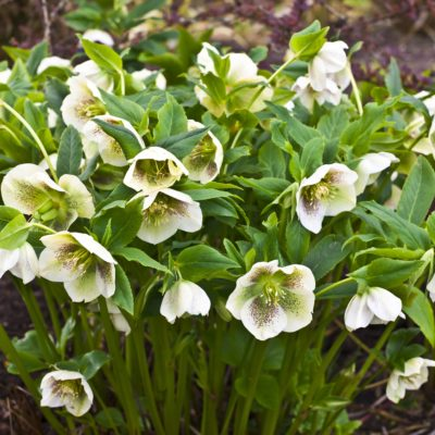 Hellebore Spring Collection 2ltr