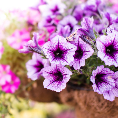 petunias flower garden april spring
