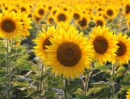 Sunflowers July Garden
