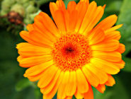 August Flower Marigold
