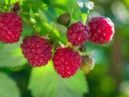 Fruit August GA