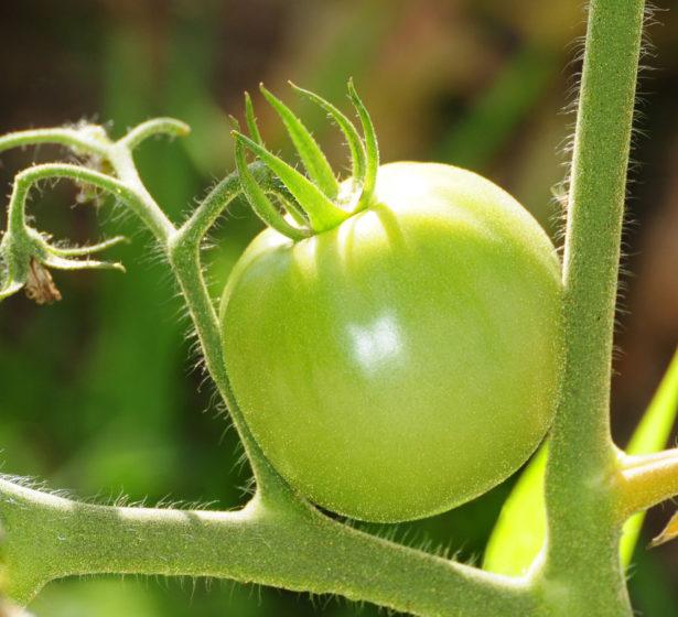 In The Veg Garden In August