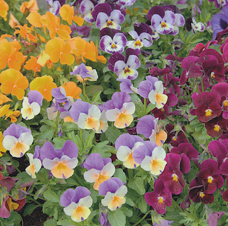 Pansy and Viola 20 Pack