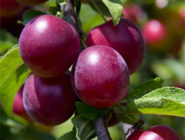 september fruit garden advice plum