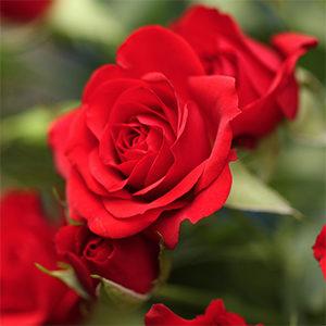roses flower garden september