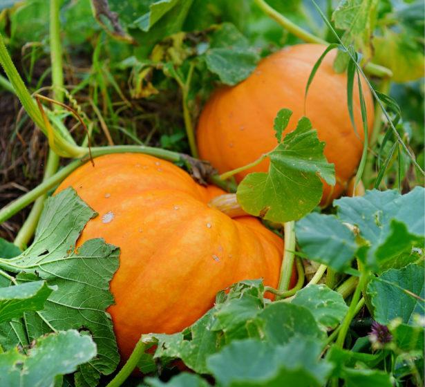 In The Vegetable Garden In October