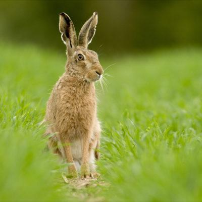 MAR GA Wildlife Hare