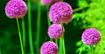 Spring flowering bulbs now instock