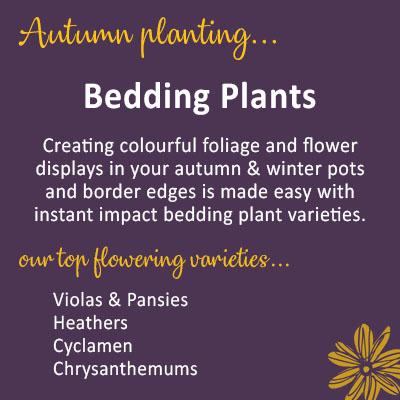 Autumn & Winter Bedding Plants